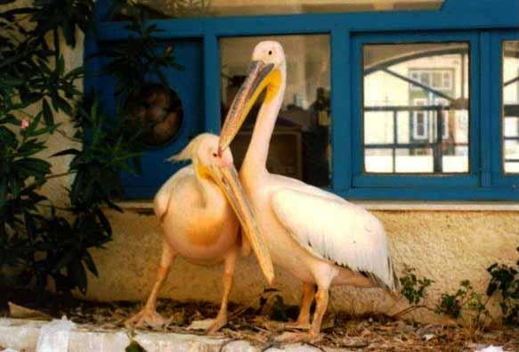 Aris the Pelican and his Ladyfriend